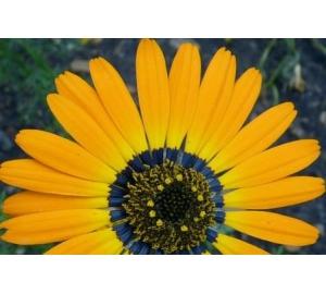 Цветы заманивают шмелей «синим гало»